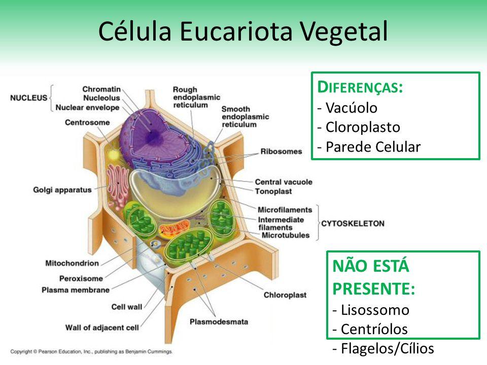 Célula Eucariota Vegetal D IFERENÇAS : - Vacúolo - Cloroplasto - Parede Celular NÃO ESTÁ PRESENTE: - Lisossomo - Centríolos - Flagelos/Cílios