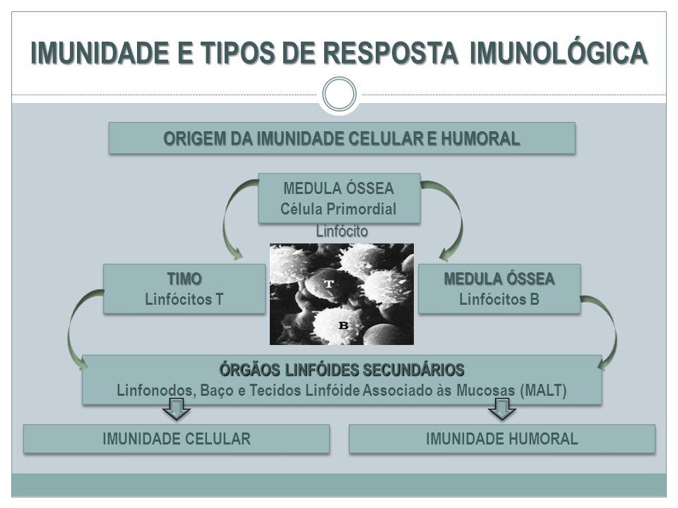 IMUNIDADE E TIPOS DE RESPOSTA IMUNOLÓGICA ORIGEM DA IMUNIDADE CELULAR E HUMORAL TIMO Linfócitos TTIMO ÓRGÃOS LINFÓIDES SECUNDÁRIOS Linfonodos, Baço e
