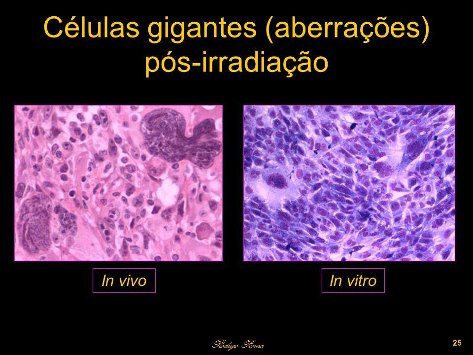 Células gigantes (aberrações) pós-irradiação Rodrigo Penna 25 In vivoIn vitro