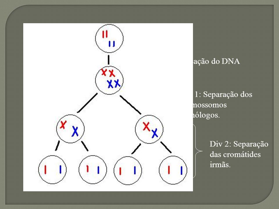 Importância Redução do número de cromossomos a metade.