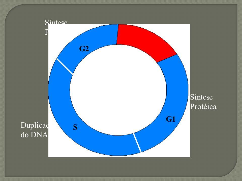 Fases: - G1 – síntese de proteínas - S – duplicação do DNA - G2 – síntese de proteínas e DNA duplicado Prof.