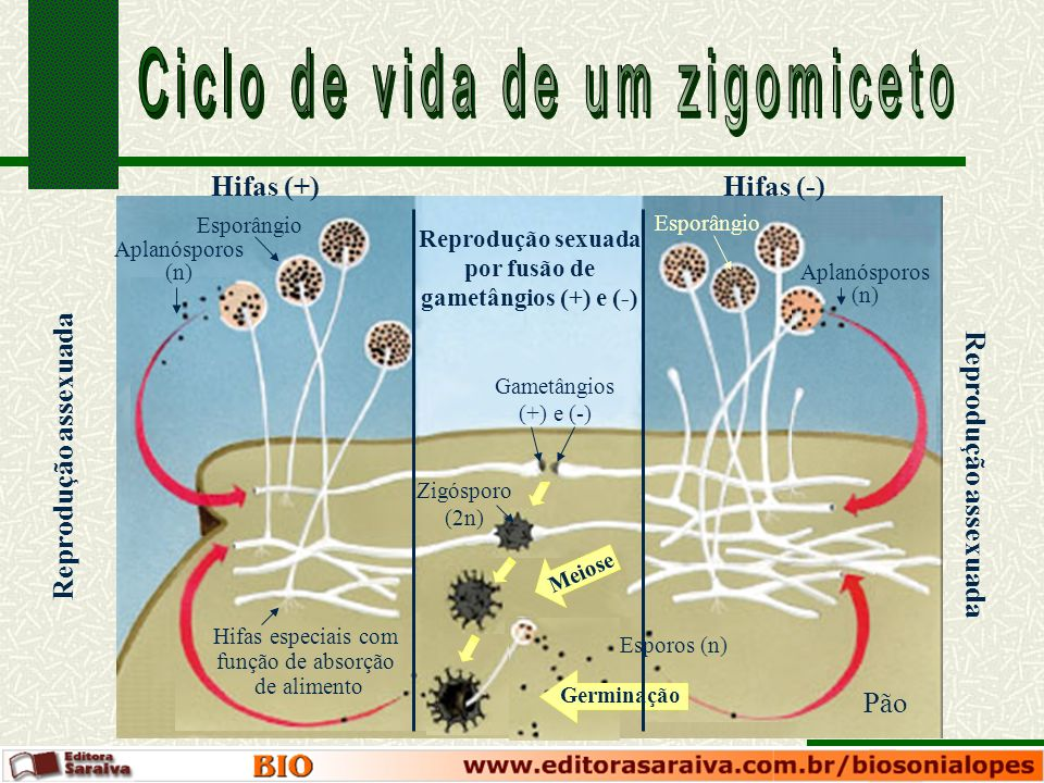 Esporângio Hifas (+)Hifas (-) Meiose Reprodução assexuada Reprodução sexuada por fusão de gametângios (+) e (-) Germinação Esporos (n) Aplanósporos (n