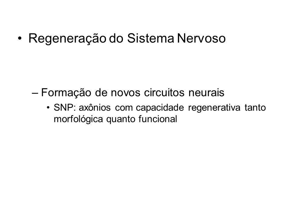 Regeneração do Sistema Nervoso –Formação de novos circuitos neurais SNP: axônios com capacidade regenerativa tanto morfológica quanto funcional