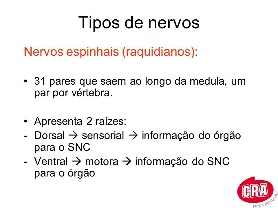 Tipos de nervos Nervos espinhais (raquidianos): 31 pares que saem ao longo da medula, um par por vértebra. Apresenta 2 raízes: -Dorsal sensorial infor