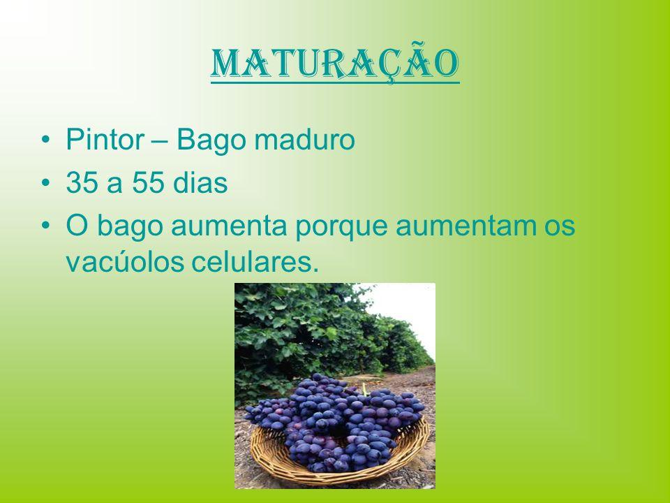 Maturação Pintor – Bago maduro 35 a 55 dias O bago aumenta porque aumentam os vacúolos celulares.