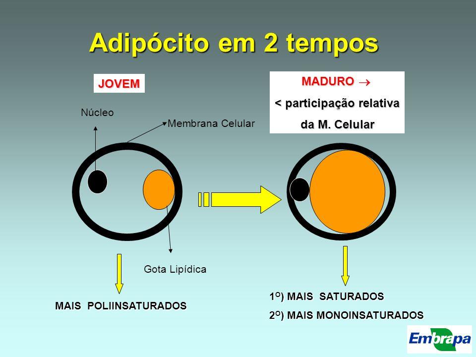 Adipócito em 2 tempos Membrana Celular Núcleo Gota Lipídica JOVEM MADURO MADURO < participação relativa da M. Celular MAIS POLIINSATURADOS 1 O ) MAIS