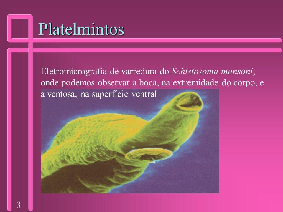 3 Platelmintos Eletromicrografia de varredura do Schistosoma mansoni, onde podemos observar a boca, na extremidade do corpo, e a ventosa, na superfíci