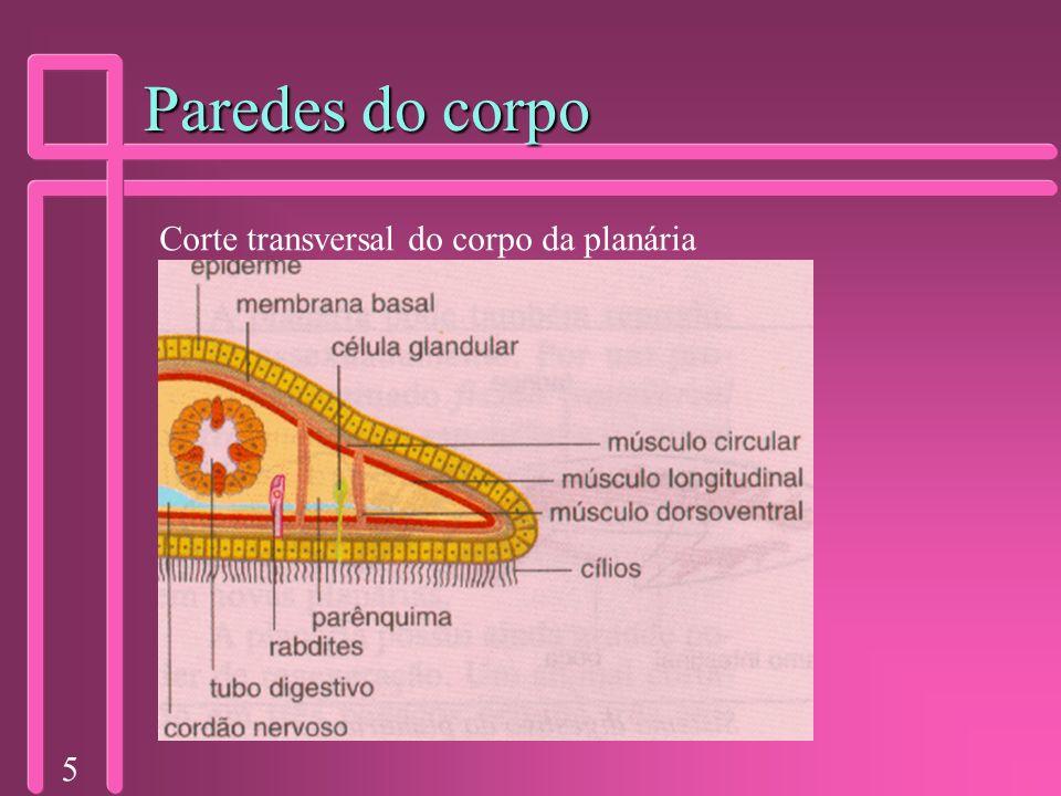 5 Paredes do corpo Corte transversal do corpo da planária