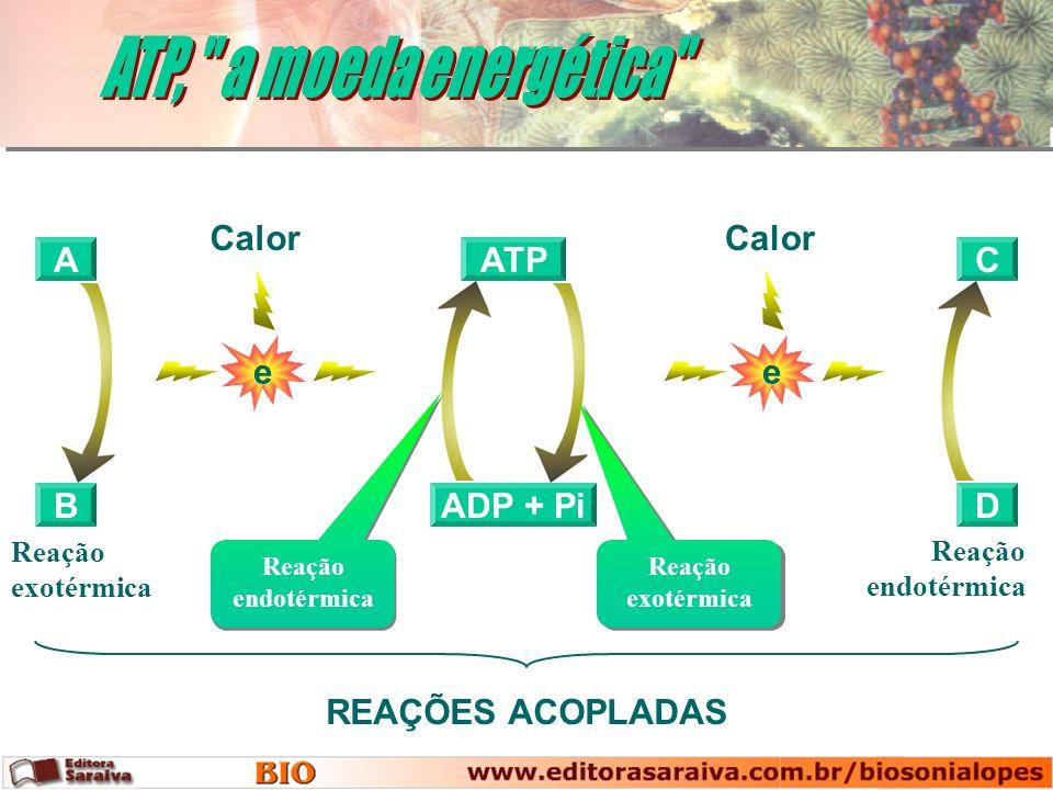 A B ADP + Pi ATP Reação endotérmica Reação exotérmica C D e Calor e REAÇÕES ACOPLADAS Reação exotérmica Reação endotérmica