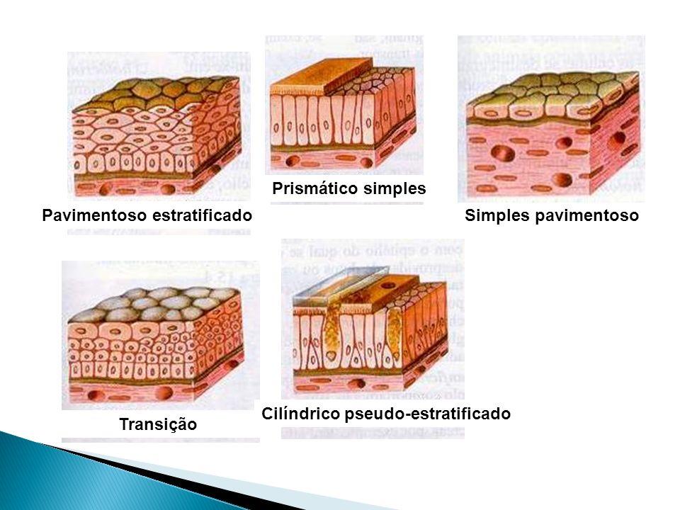 Simples pavimentoso Prismático simples Pavimentoso estratificado Transição Cilíndrico pseudo-estratificado