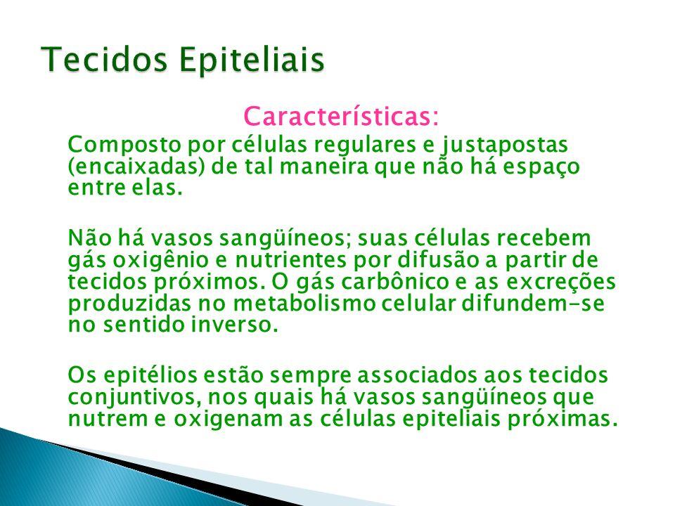Características: Composto por células regulares e justapostas (encaixadas) de tal maneira que não há espaço entre elas. Não há vasos sangüíneos; suas