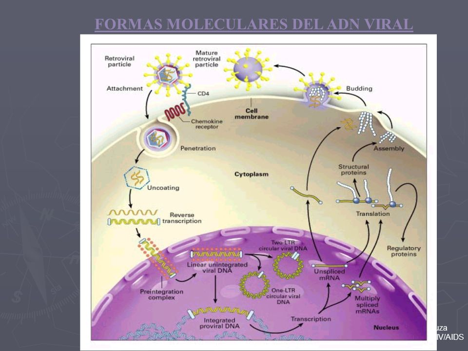 Ricardo da Silva de Souza Lab. de Pesquisa em HIV/AIDS FORMAS MOLECULARES DEL ADN VIRAL