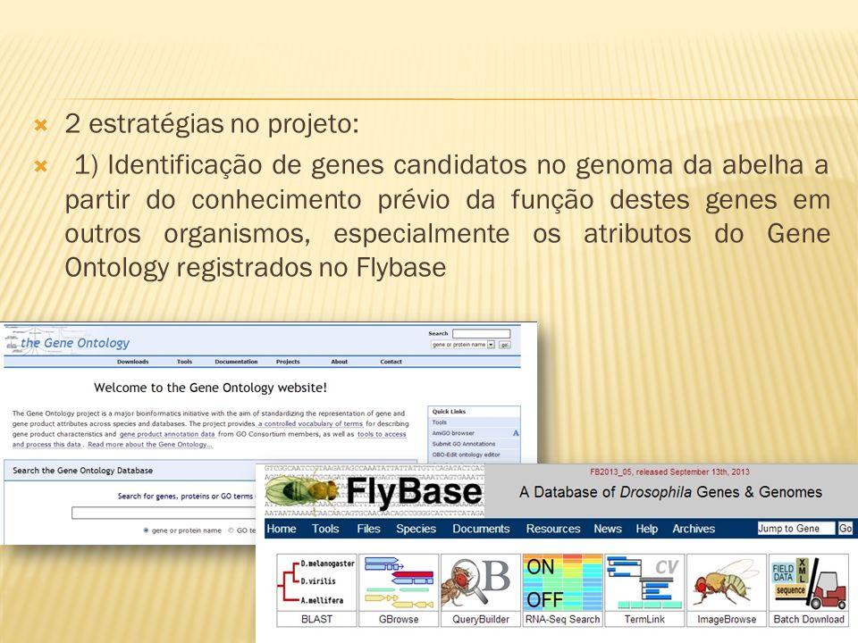2 estratégias no projeto: 1) Identificação de genes candidatos no genoma da abelha a partir do conhecimento prévio da função destes genes em outros or