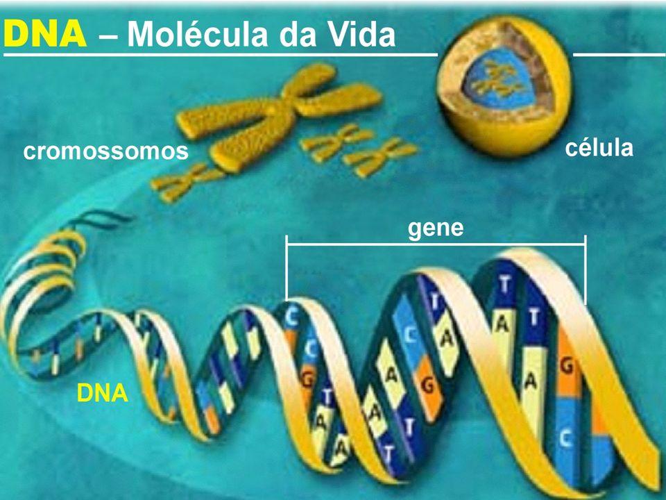 Os nucleotídeos do DNA As ligações entre os nucleotídeos na verdade ocorrem entre as bases nitrogenadas que realizam as pontes de H +.