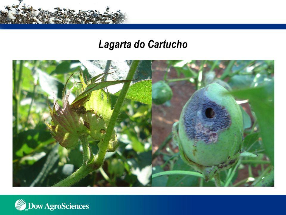 Lagarta do cartucho – Número de larvas / 10 plantas (Gravena et al., 2007a) Indianópolis/MG