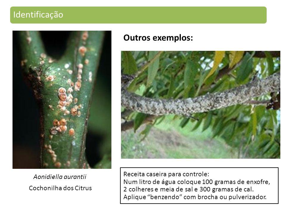 Aonidiella aurantii Cochonilha dos Citrus Identificação Receita caseira para controle: Num litro de água coloque 100 gramas de enxofre, 2 colheres e meia de sal e 300 gramas de cal.