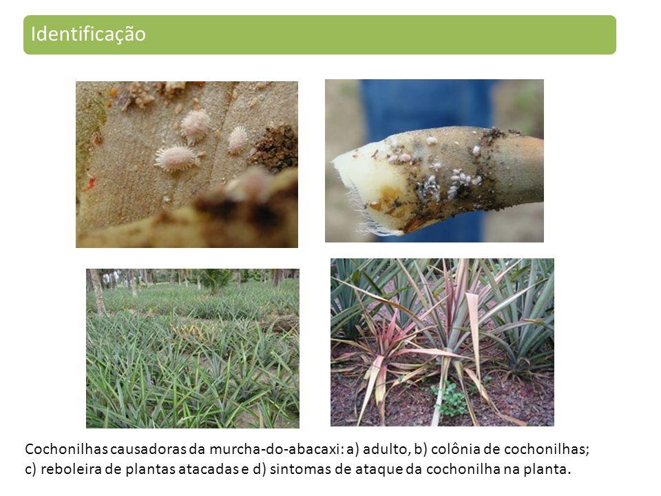 Identificação Cochonilhas causadoras da murcha-do-abacaxi: a) adulto, b) colônia de cochonilhas; c) reboleira de plantas atacadas e d) sintomas de ataque da cochonilha na planta.