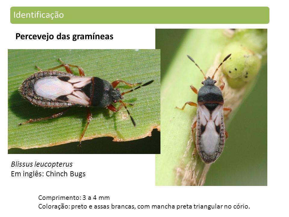 Blissus leucopterus Em inglês: Chinch Bugs Comprimento: 3 a 4 mm Coloração: preto e assas brancas, com mancha preta triangular no cório.