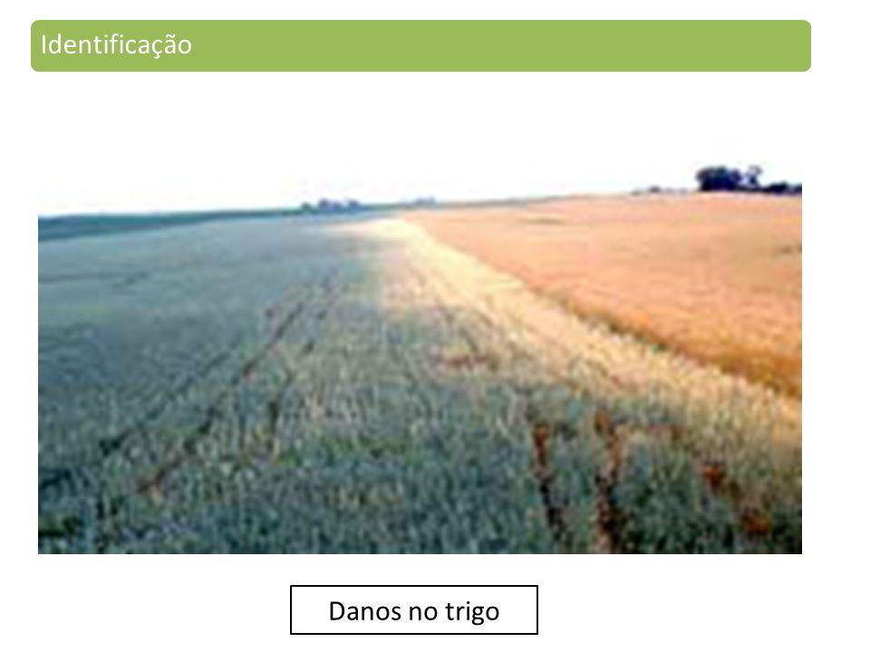 Identificação Danos no trigo