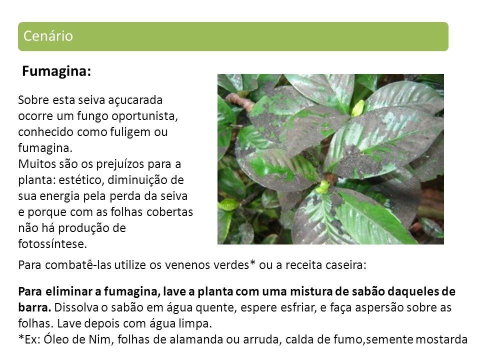 Fumagina: Sobre esta seiva açucarada ocorre um fungo oportunista, conhecido como fuligem ou fumagina.