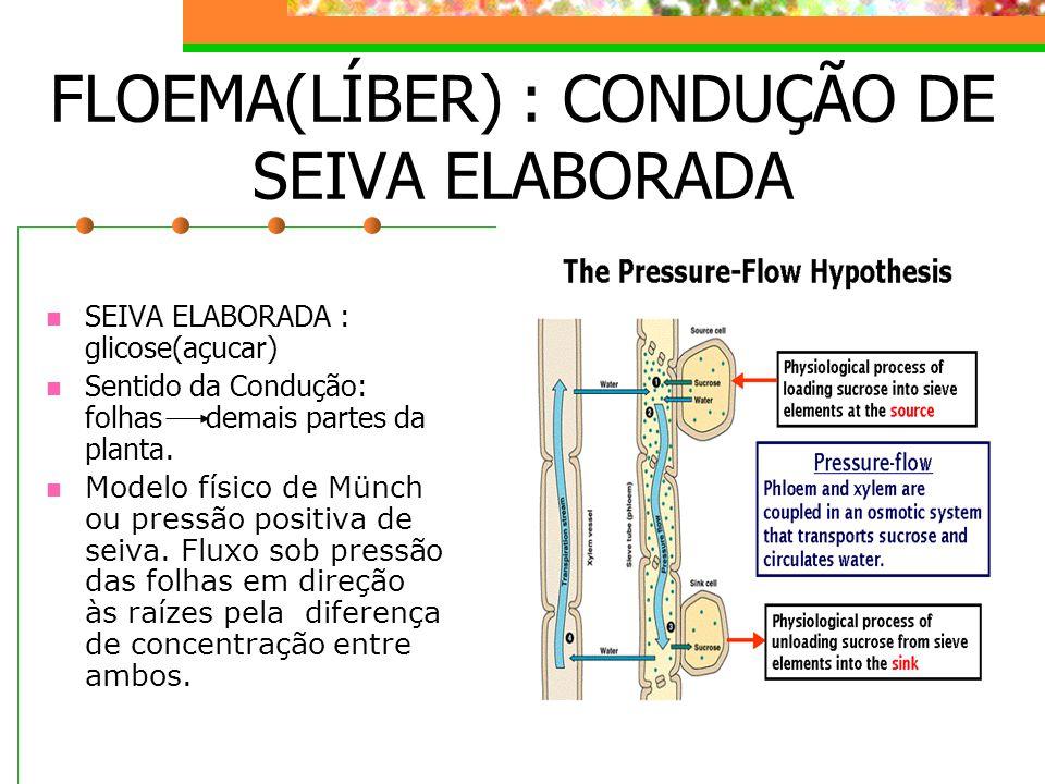 FLOEMA(LÍBER) : CONDUÇÃO DE SEIVA ELABORADA SEIVA ELABORADA : glicose(açucar) Sentido da Condução: folhas demais partes da planta. Modelo físico de Mü