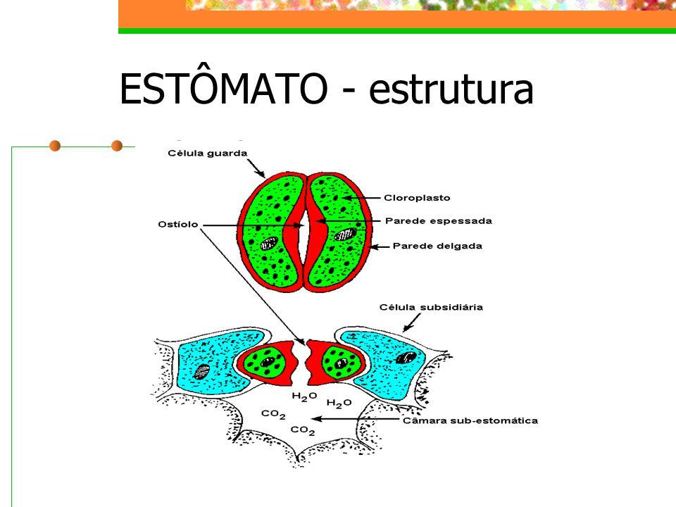 ESTÔMATO - estrutura