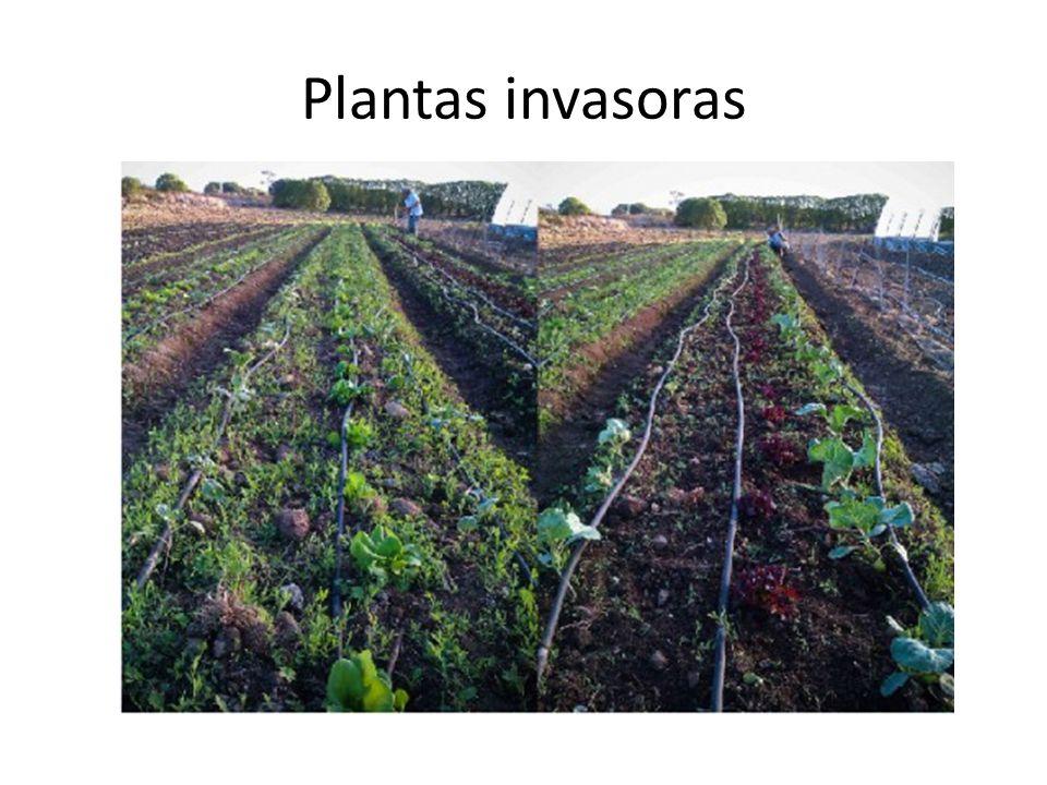 Danos as culturas de interesse econômico As plantas daninhas afetam as culturas devido à competição pelos fatores de produção: 1.luz, 2.água e 3.nutrientes, E também pela liberação de compostos alelopáticos.