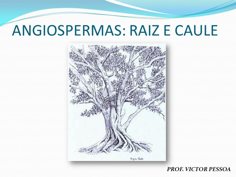 RAIZ Definição: órgão geralmente subterrâneo que fixa a planta ao solo, retira e distribui alimentos e funciona como órgão de reserva; Origem: radícula no embrião da semente (raiz principal), endógena (a partir de tecidos profundos – raízes secundárias e a maioria das adventícias); Características gerais: corpo não segmentado em nós e entrenós, sem folhas e sem gemas, aclorofiladas (exceção: orquídeas e aráceas), exibem caliptra ou coifa e com pelos radiculares, geotropismo positivo (geralmente), crescimento subterminal; Funções: fixação da planta ao solo, absorção de água e minerais, condução de substâncias alimentares, reserva de alimentos.