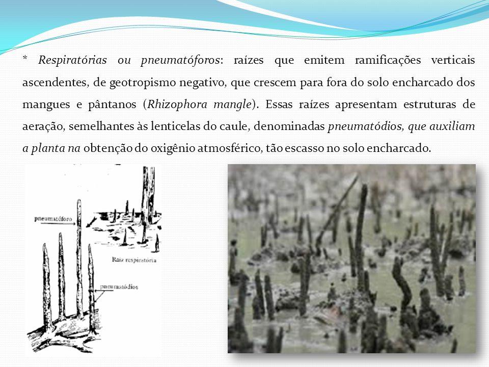 * Respiratórias ou pneumatóforos: raízes que emitem ramificações verticais ascendentes, de geotropismo negativo, que crescem para fora do solo encharc