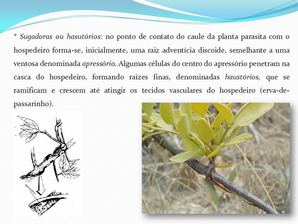 * Sugadoras ou hasutórios: no ponto de contato do caule da planta parasita com o hospedeiro forma-se, inicialmente, uma raiz adventícia discoide, seme