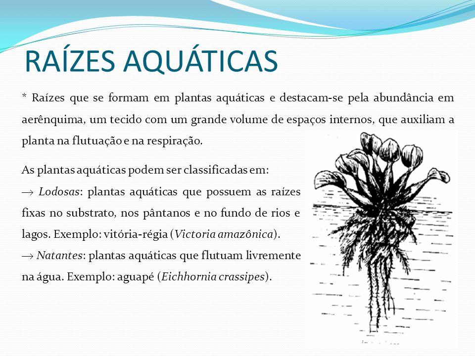 RAÍZES AQUÁTICAS * Raízes que se formam em plantas aquáticas e destacam-se pela abundância em aerênquima, um tecido com um grande volume de espaços in