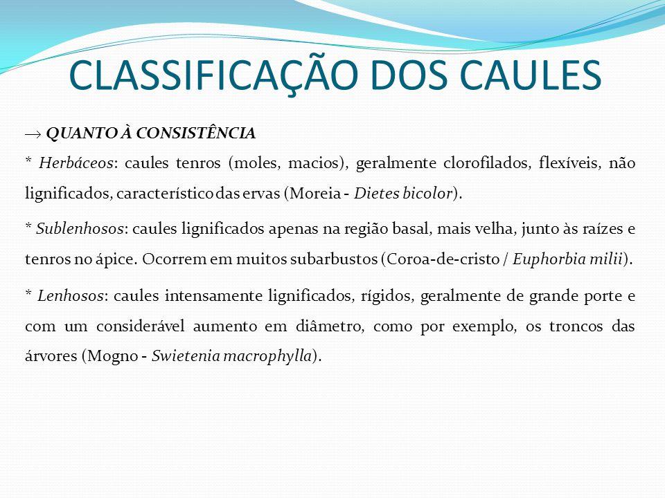 CLASSIFICAÇÃO DOS CAULES QUANTO À CONSISTÊNCIA * Herbáceos: caules tenros (moles, macios), geralmente clorofilados, flexíveis, não lignificados, carac