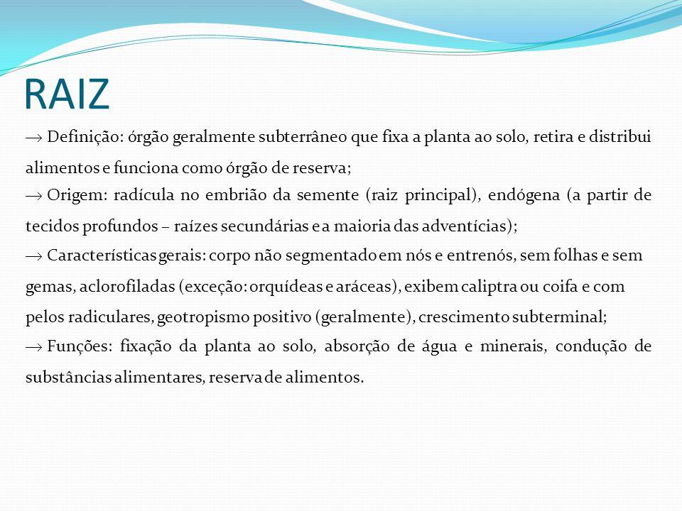 MORFOLOGIA EXTERNA Coifa ou caliptra Zona lisa ou zona de crescimento Zona pilífera ou zona de pelos absorventes Zona suberosa ou zona de ramificação