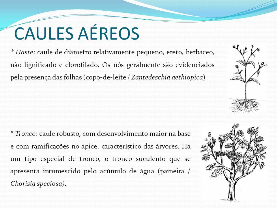 CAULES AÉREOS * Haste: caule de diâmetro relativamente pequeno, ereto, herbáceo, não lignificado e clorofilado. Os nós geralmente são evidenciados pel