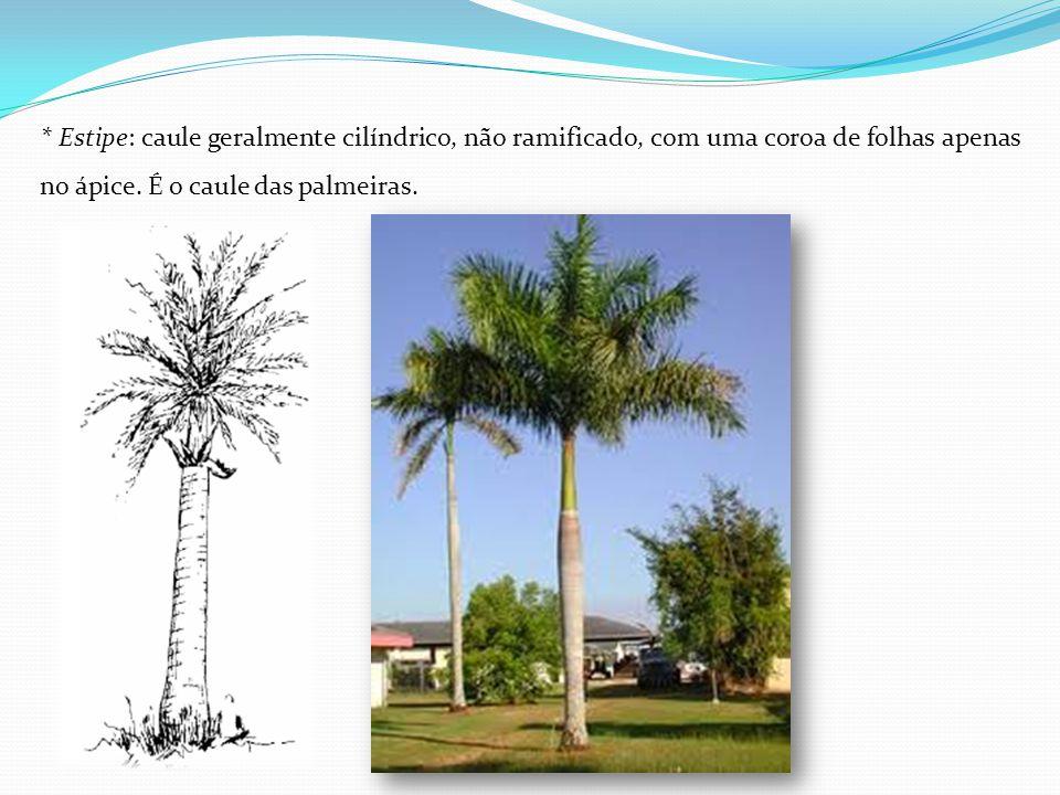 * Estipe: caule geralmente cilíndrico, não ramificado, com uma coroa de folhas apenas no ápice. É o caule das palmeiras.