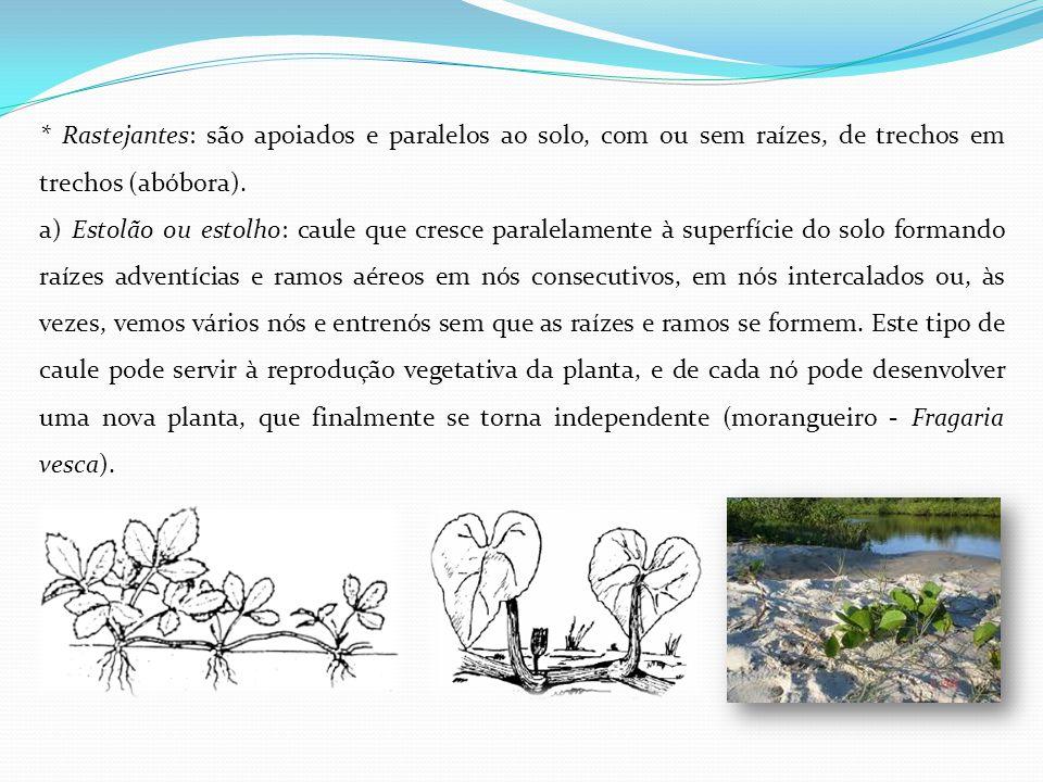 * Rastejantes: são apoiados e paralelos ao solo, com ou sem raízes, de trechos em trechos (abóbora). a) Estolão ou estolho: caule que cresce paralelam