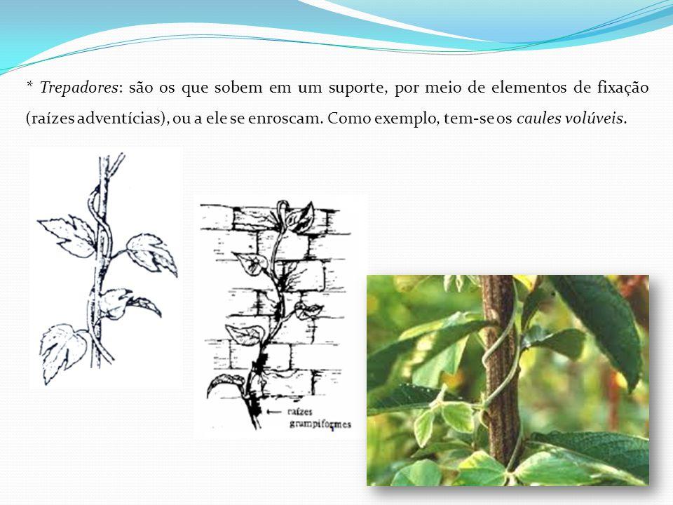 * Trepadores: são os que sobem em um suporte, por meio de elementos de fixação (raízes adventícias), ou a ele se enroscam. Como exemplo, tem-se os cau