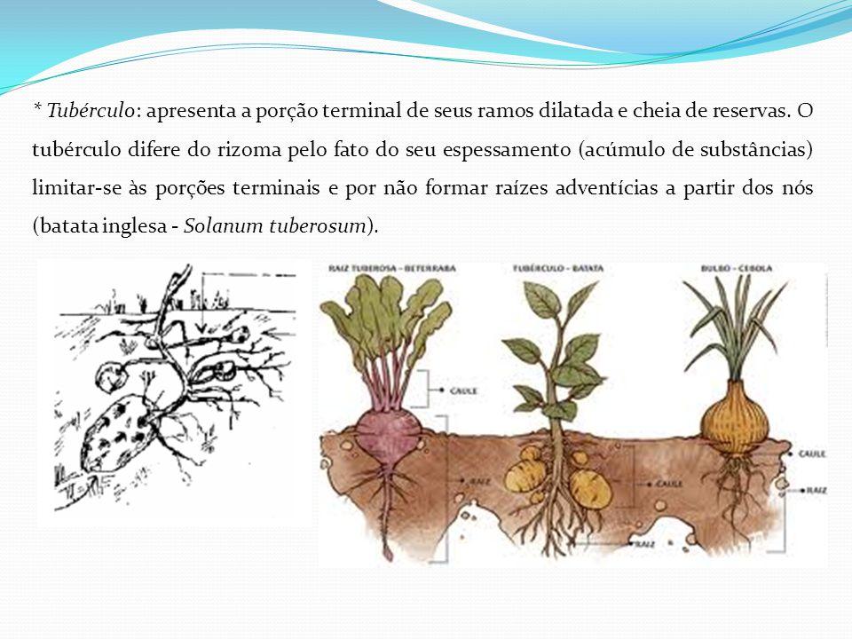 * Tubérculo: apresenta a porção terminal de seus ramos dilatada e cheia de reservas. O tubérculo difere do rizoma pelo fato do seu espessamento (acúmu