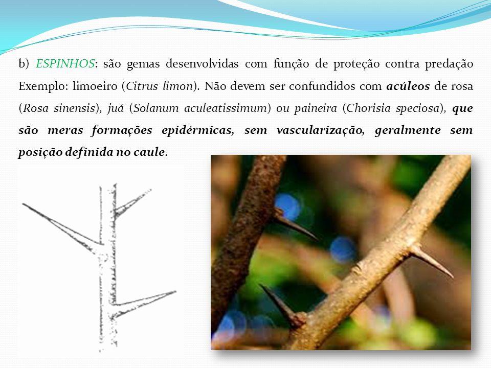 b) ESPINHOS: são gemas desenvolvidas com função de proteção contra predação Exemplo: limoeiro (Citrus limon). Não devem ser confundidos com acúleos de
