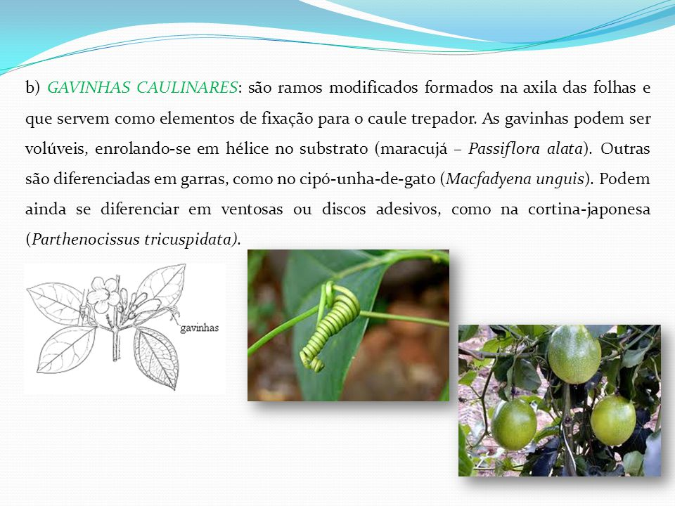 b) GAVINHAS CAULINARES: são ramos modificados formados na axila das folhas e que servem como elementos de fixação para o caule trepador. As gavinhas p