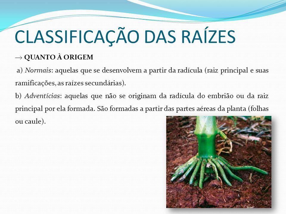 CLASSIFICAÇÃO DAS RAÍZES QUANTO À ORIGEM a) Normais: aquelas que se desenvolvem a partir da radícula (raiz principal e suas ramificações, as raízes se