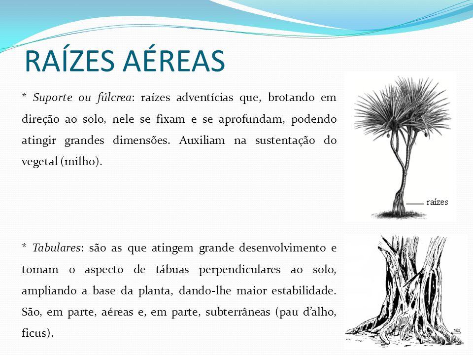 RAÍZES AÉREAS * Suporte ou fúlcrea: raízes adventícias que, brotando em direção ao solo, nele se fixam e se aprofundam, podendo atingir grandes dimens