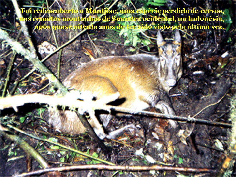 Foi redescoberto o Muntjiac, uma espécie perdida de cervos, nas remotas montanhas de Sumatra ocidental, na Indonésia, após quase oitenta anos de ter s