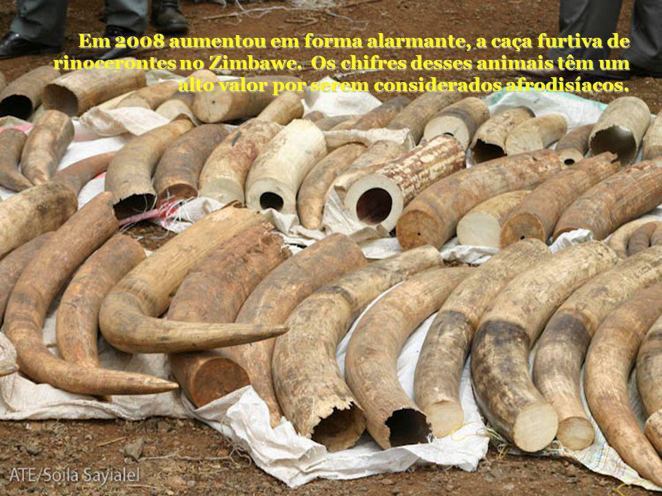 Em 2008 aumentou em forma alarmante, a caça furtiva de rinocerontes no Zimbawe. Os chifres desses animais têm um alto valor por serem considerados afr