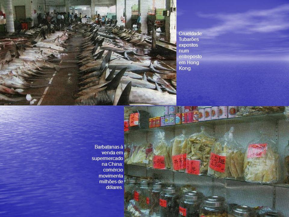 O desaparecimento de algumas espécies provocou aumento significativo da população de polvos, alimento preferido dos tubarões.