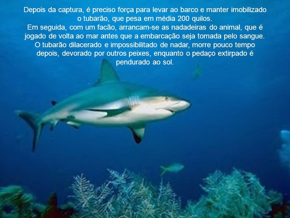 Depois da captura, é preciso força para levar ao barco e manter imobilizado o tubarão, que pesa em média 200 quilos.