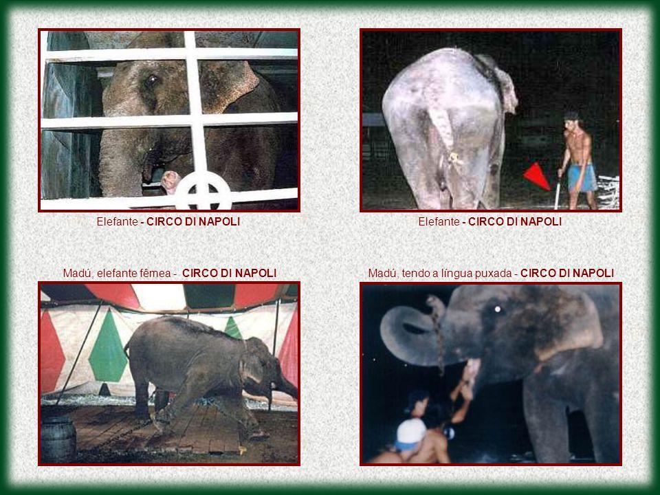 Elefante - CIRCO DI NAPOLI Madú, elefante fêmea - CIRCO DI NAPOLIMadú, tendo a língua puxada - CIRCO DI NAPOLI