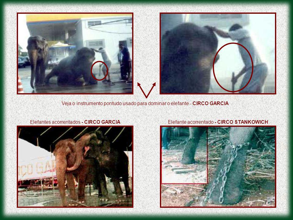 Elefantes acorrentados - CIRCO GARCIA Veja o instrumento pontudo usado para dominar o elefante - CIRCO GARCIA Elefante acorrentado - CIRCO STANKOWICH