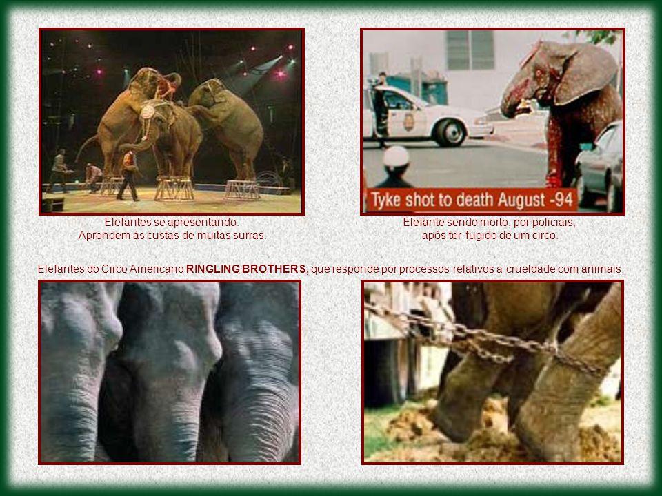 Elefantes do Circo Americano RINGLING BROTHERS, que responde por processos relativos a crueldade com animais. Elefante sendo morto, por policiais, apó