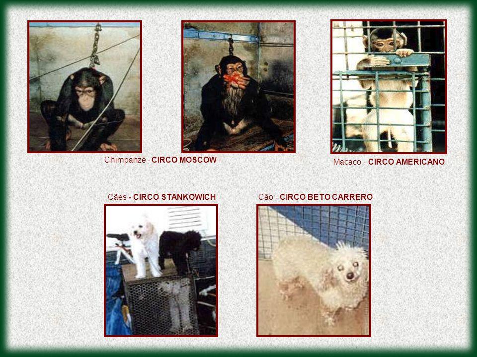 Chimpanzé - CIRCO MOSCOW Cães - CIRCO STANKOWICHCão - CIRCO BETO CARRERO Macaco - CIRCO AMERICANO